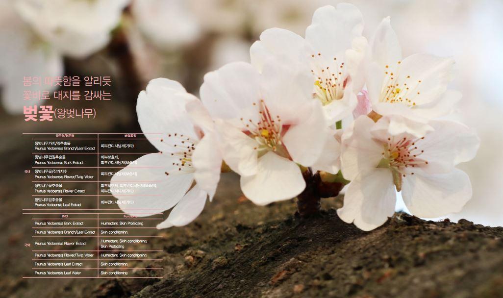 왕벚꽃(왕벚나무 꽃)